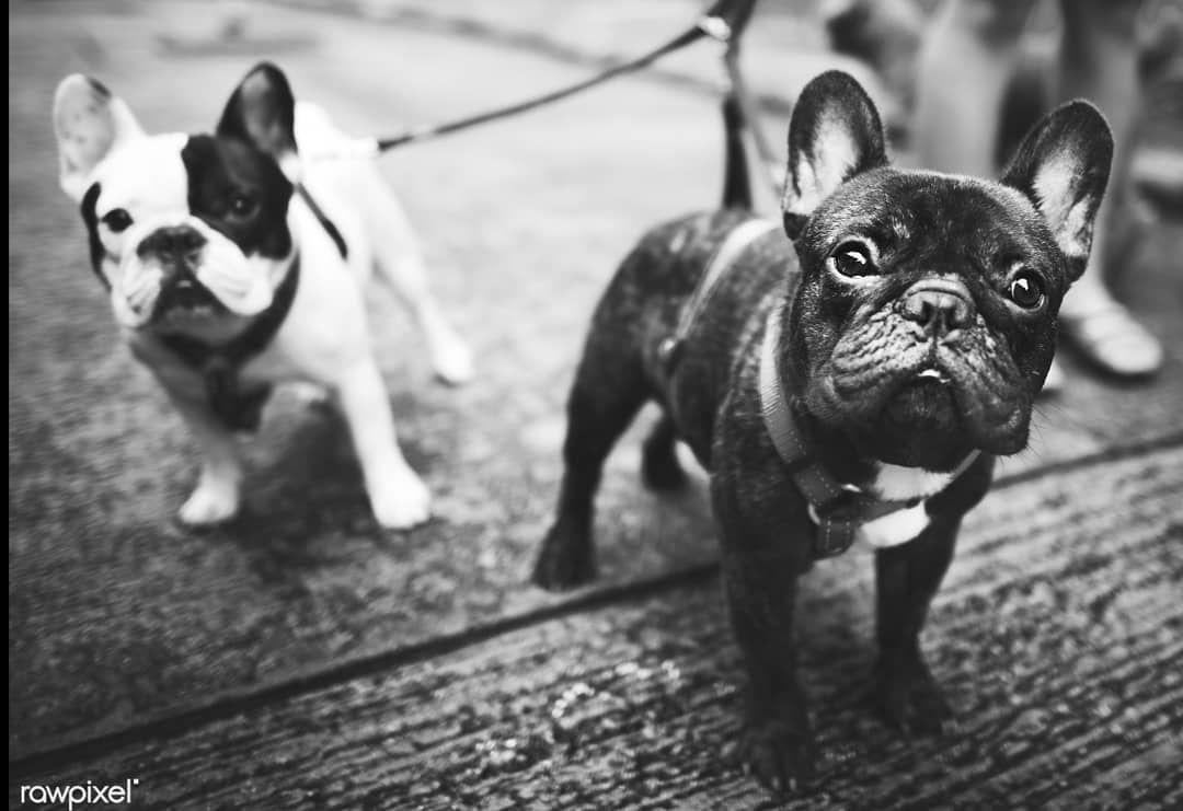 Parlez Vous Francais Woaf Woaf French Bulldog Popular Dog