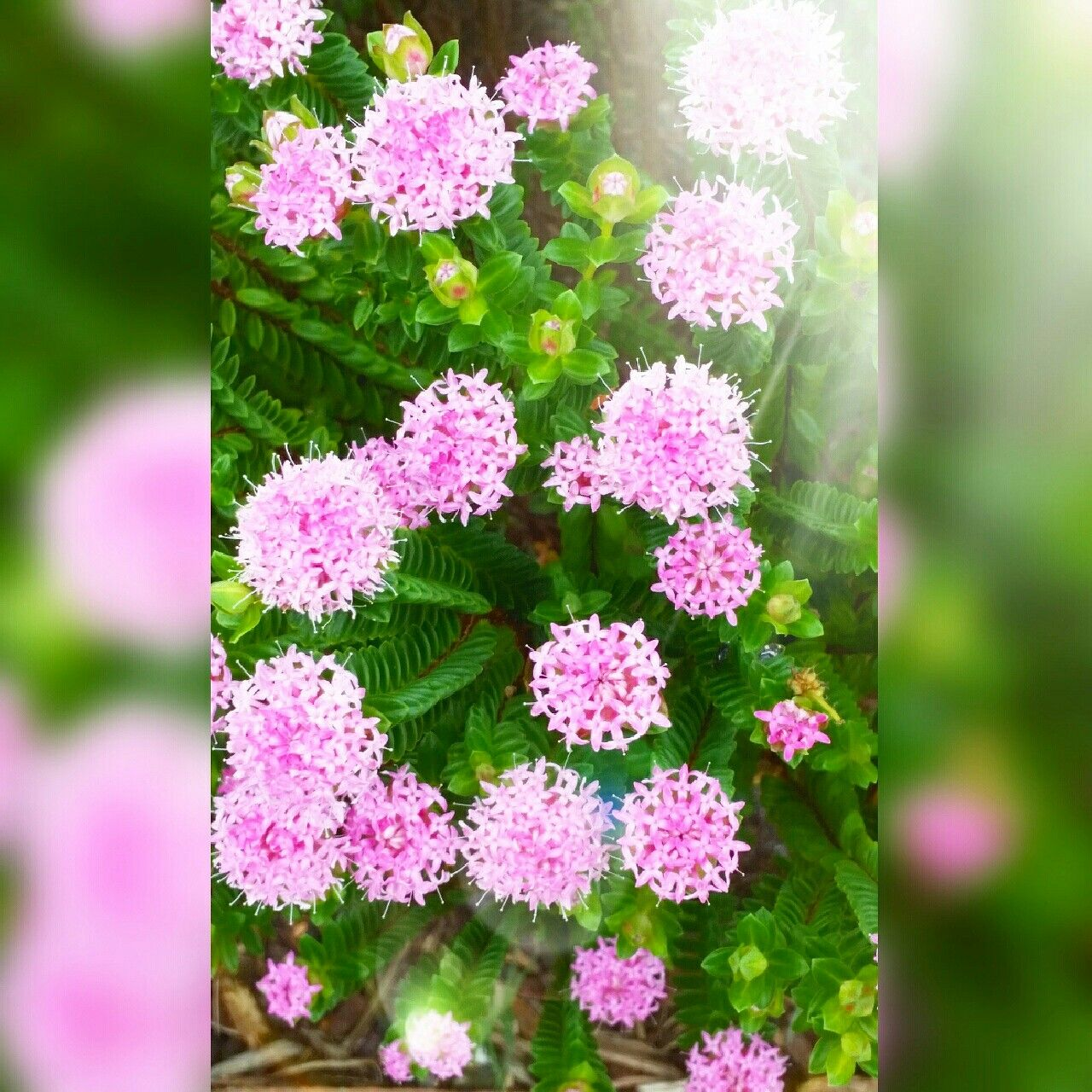 Pink Blossom Flowers Beautiful Pretty Cute Pink Flowers Nature