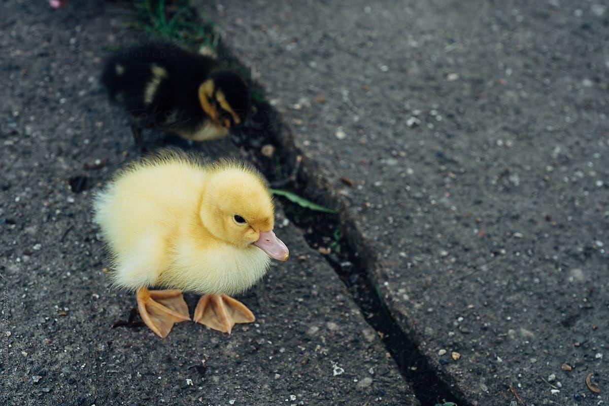 baby ducks Google Search Baby ducks