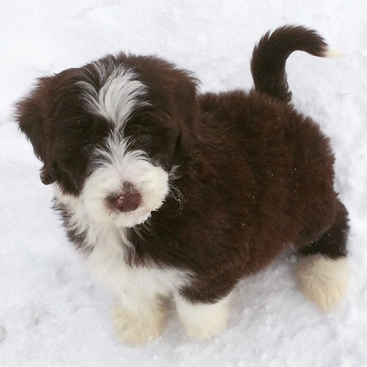 Ohhh My Gosh Ive Never Seen A Brown Sheepadoodle Before D