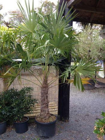 les 25 meilleures id es de la cat gorie palmier trachycarpus sur pinterest tigre aquarelle. Black Bedroom Furniture Sets. Home Design Ideas
