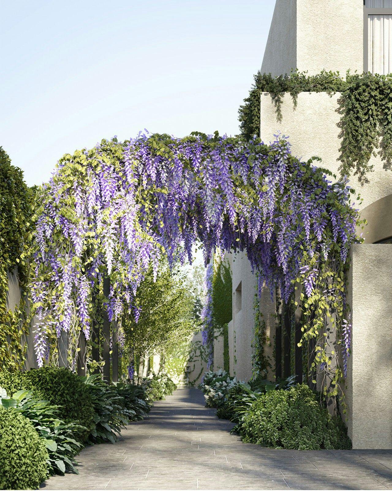 Jolson Huntingtower Road Glyzinie Blauregen Torbogen Blauregen Pflanzen Garten Landschaftsdesign