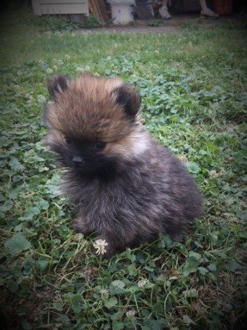 For Sale Akc Pomeranian Male Puppies Canton Oh Pomeranian Puppy For Sale Pomeranian Puppy Puppies
