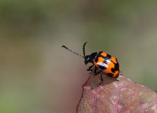 Itadori-hamushi (japanese name) / Gallerucida bifasciata (scientific name)