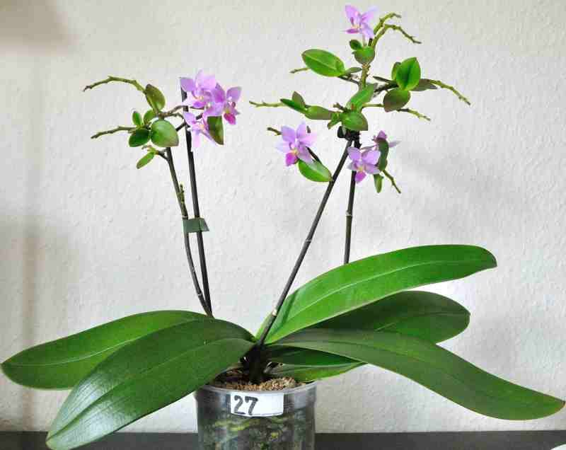 Phalaenopsis equistris is said to be the most abundant How do you care for orchids after they bloom