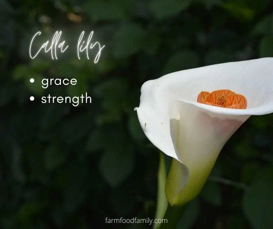 Calla Lily Meaning In 2020 Flower Meanings Lily Flower Lily Meaning