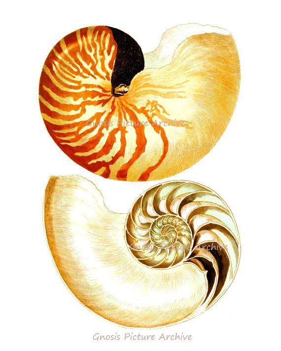 Beach theme Decor Sea Shell Print no.8 Nautilus shell sea life Beach ...