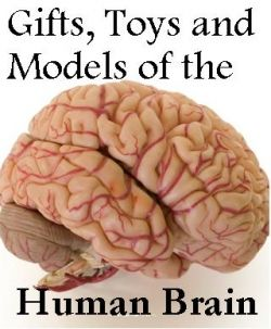 Human Brain Models, Toys And Other Stuff | Brain size ...