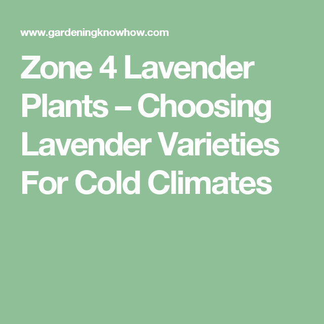 Cold Hardy Lavender Plants Tips On Growing In Zone