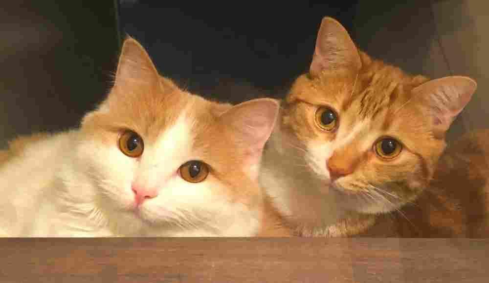 Bonded Orange Tabby Cats For Adoption In Calgary Ab Adopt Bingo And Captain Cat Adoption Orange Tabby Cats Tabby Cat