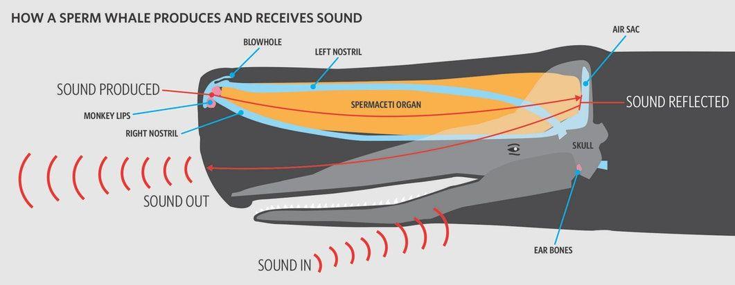Sperm whales using echolocation
