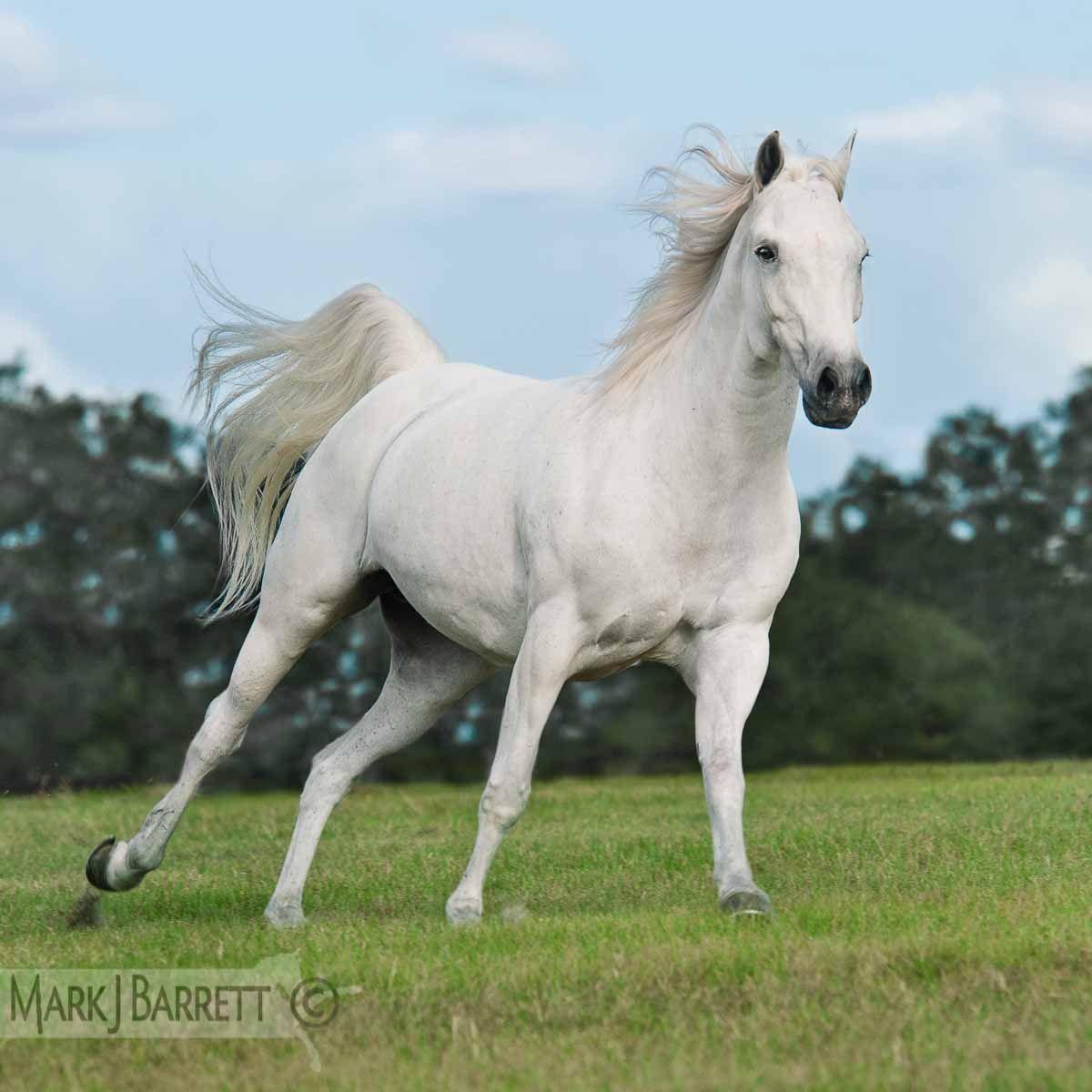 white Arabian horse | Horses - Ghosts | Horses, Beautiful ...