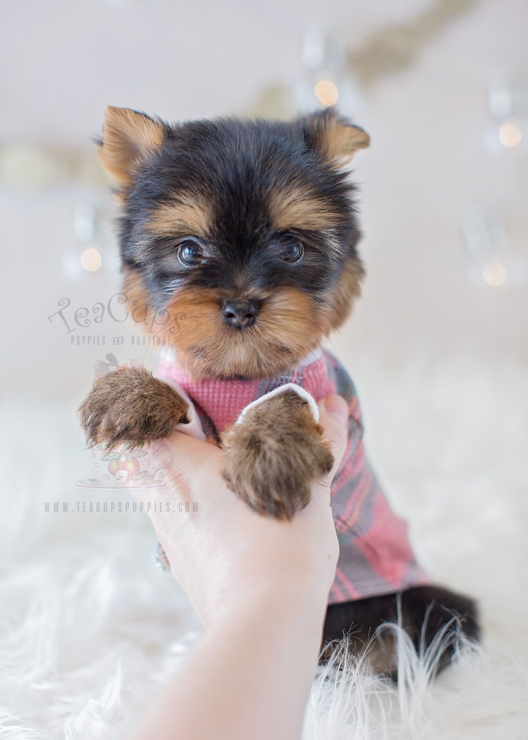 For sale teacup puppies tiny yorkie puppy hamsters