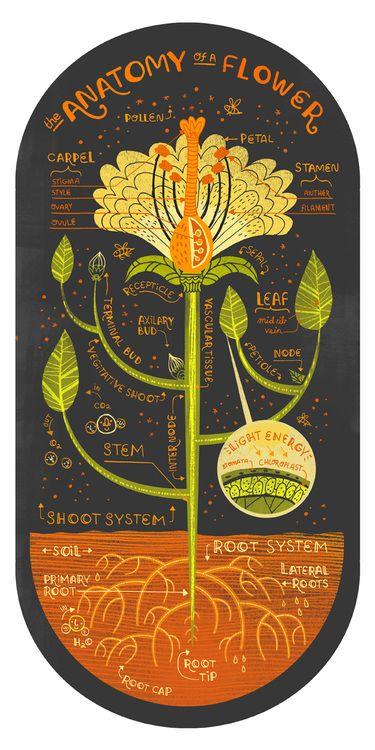 La anatomía de una flor | Diseño Imaginario | Pinterest | Anatomía ...