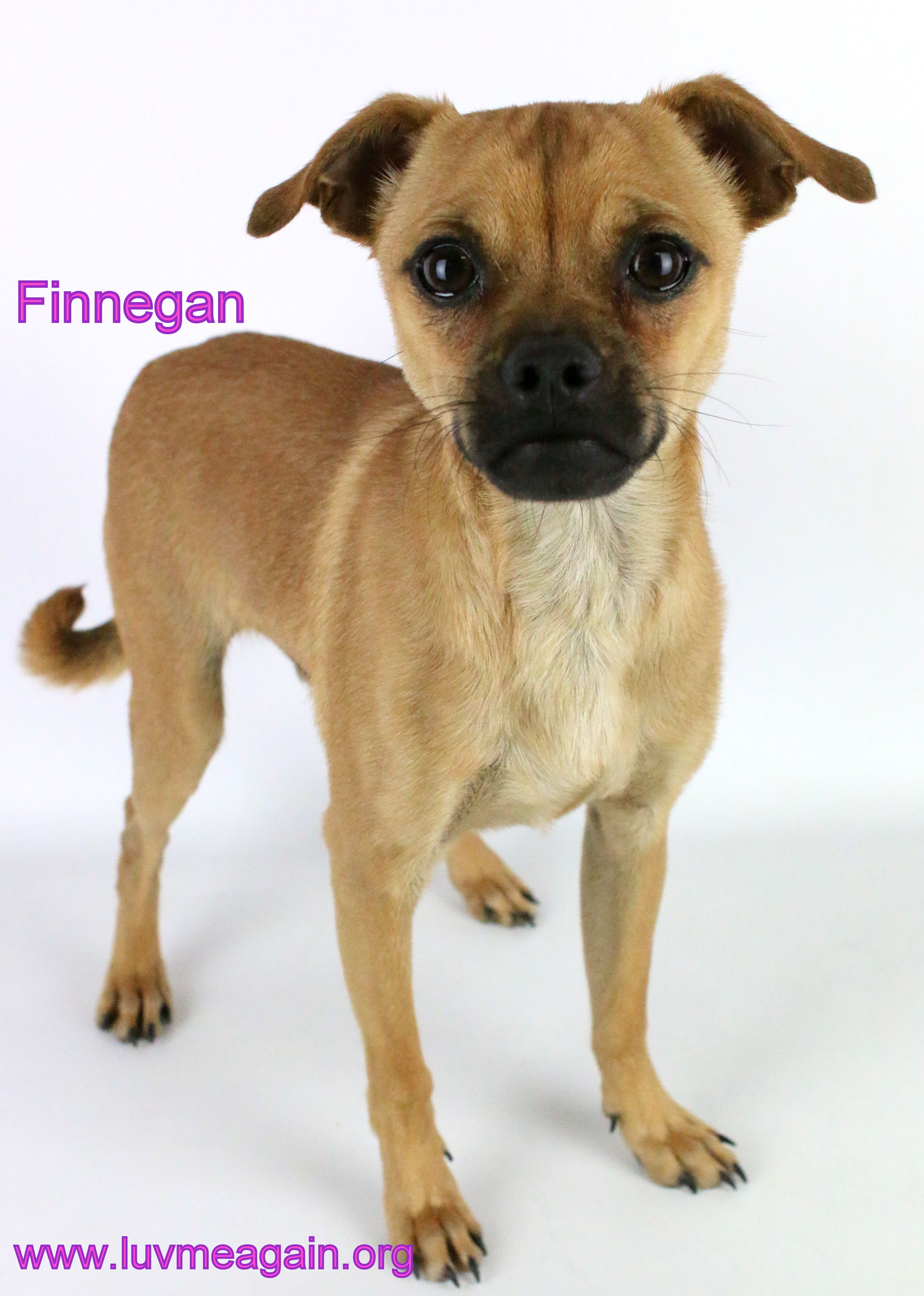Chug Dog For Adoption In Bloomington Mn Adn 535230 On Puppyfinder Com Gender Male Age Young Chug Dog Dog Adoption Dogs