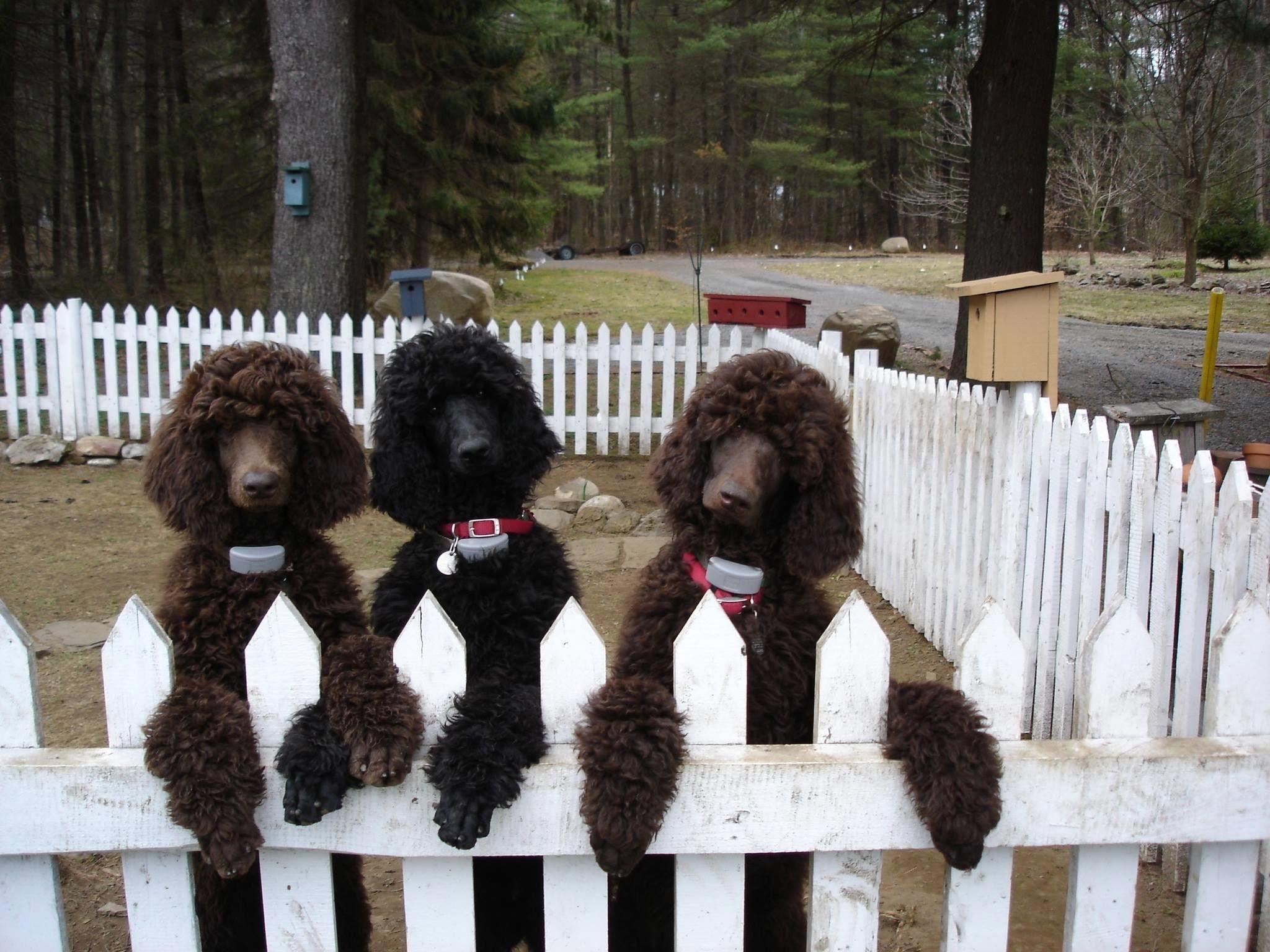 Mixed Haircut Styles Poodle Black Standard Poodle Poodle