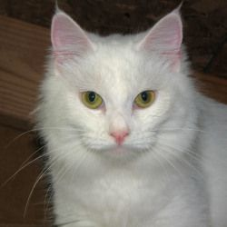 Angel Is An Adoptable Domestic Medium Hair White Cat In Appling Ga Angel Is A Sweet Gorgeous Solid White Cat Less Than A Year Old S White Cat Kittens Pets