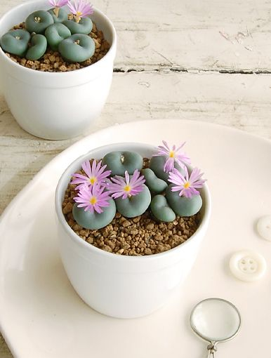 """Conophytum: nicknamed """"living stones"""" They are succulents that look like smooth rocks and the bloom a tiny flower!  So cute."""