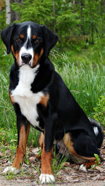 Appenzeller Sennenhund Are A Popular Example Of The Text Book Look Up For American Grammar Dog Dog Breeds Medium Dog Breeds Dogs