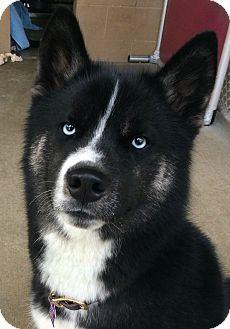 Pontiac Mi Husky Akita Mix Meet Blue A Puppy For Adoption Http Www Adoptapet Com Pet 15124518 Pontiac Michigan Husky Mix Puppies Puppy Adoption Husky