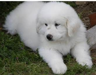 great pyrenees price