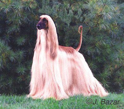 The Afghan Hound A Dog Of Royalty Afghan Hound Dog Breeds