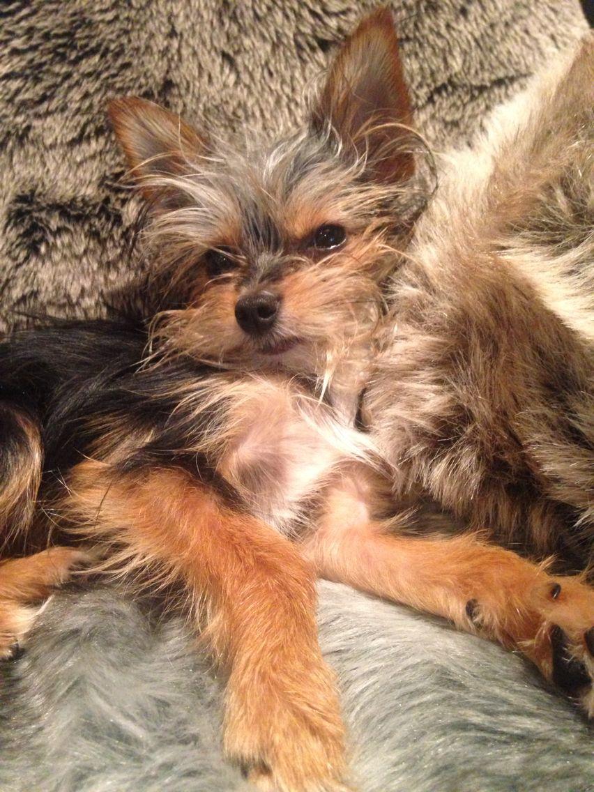 Do Not Disturb The Chorkie Yorkie Puppy Yorkie Pets