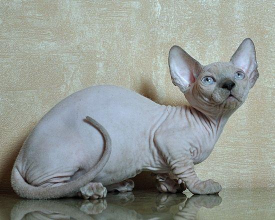 Bambino Joser Magdalene Cat Breeder Cats And Kittens Hairless Cat