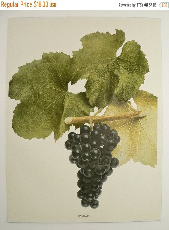 Antique grape print vintage fruit print old 1908 ny carman winery art kitchen unique christmas gift under 20 gifts for home restaurant by oldmapsandprints