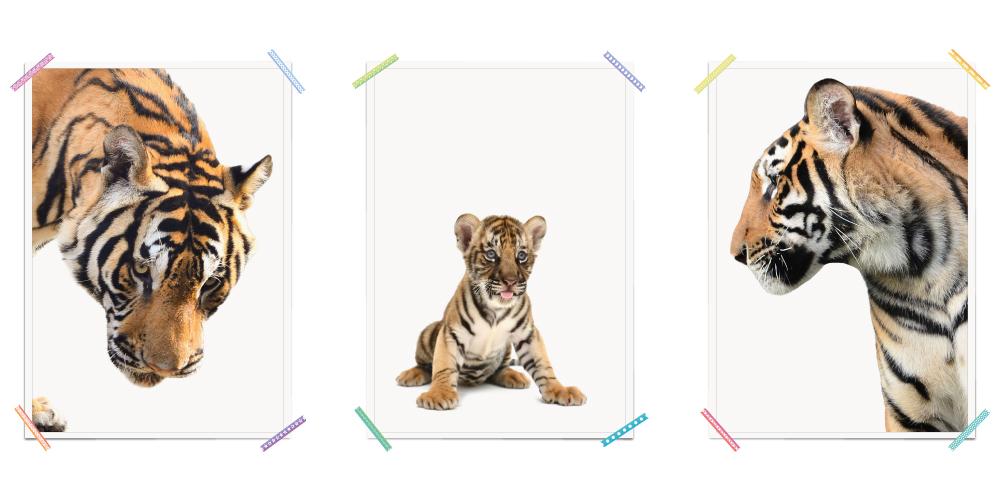 Tiger Tigerbaby Tiger Familie Afrika Safari Poster Kinderzimmer Madchen Kinder Myprinti Little Galleries Tigerbaby Poster Kinderzimmer Tigerbabys