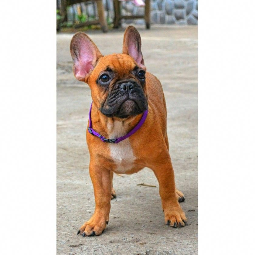 French Bulldog Care French Bulldog French Bulldog French