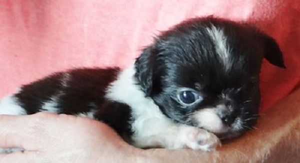 Shih Tzu Puppies Rochester Ny Zoe Fans Blog Pekingese Puppies
