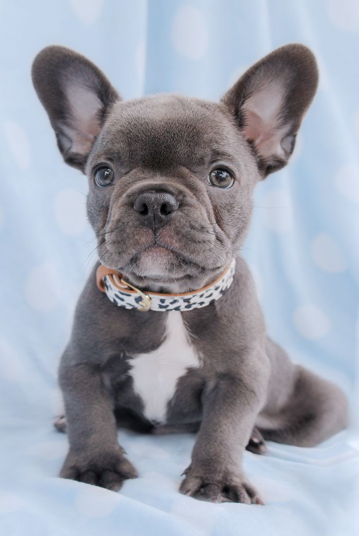 Led Pet Collar Blue L French Bulldog Puppies Bulldog Puppies For Sale Puppies