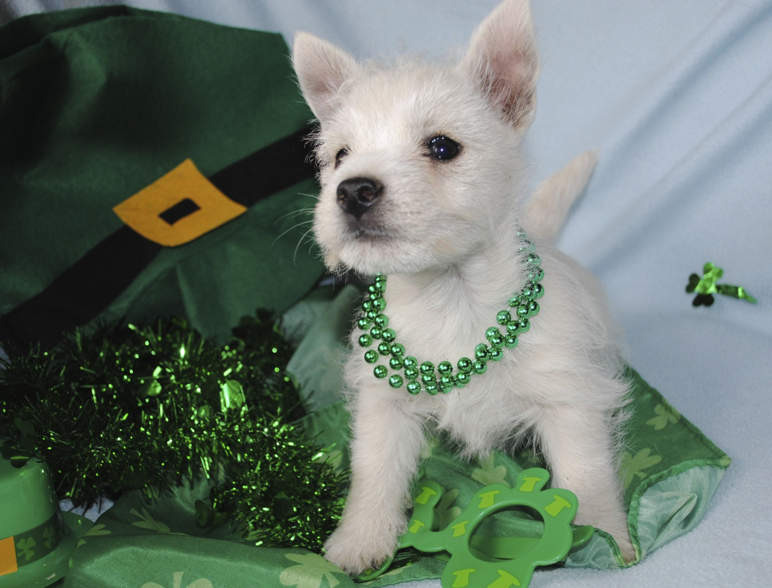 Another adorable Westie puppy! Please contact us if