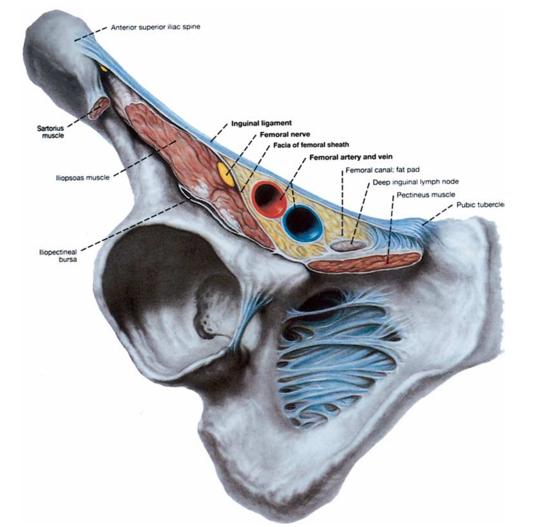 Illustration of the femoral canal and femoral sheath. The ...