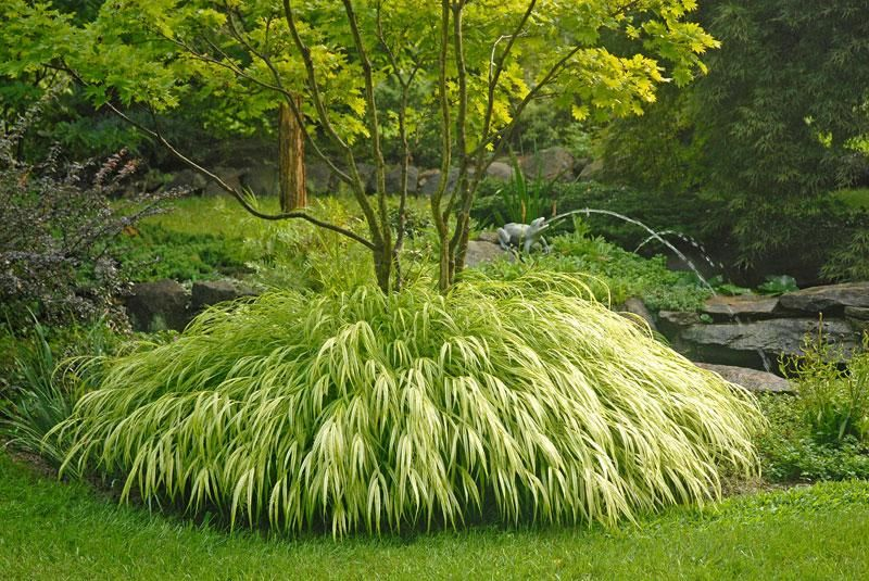 Hakonchloa macra hakone grass golden japanese forest for Low mounding ornamental grasses