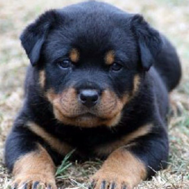 Pin By Melanie M On I Dogs Rottweiler Puppies For Sale