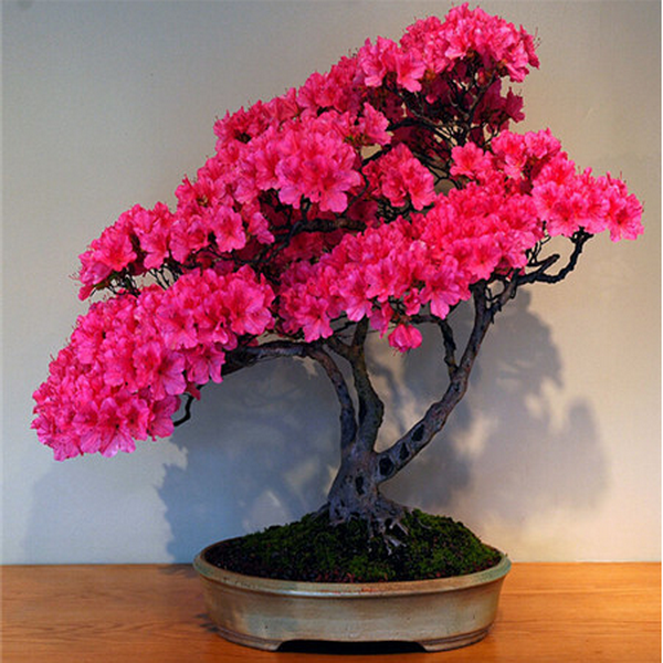 20 Pink Azalea Cherry Flower Bonsai Tree Seeds Rama Deals Azalea Flower Cherry Blossom Flowers Flower Seeds