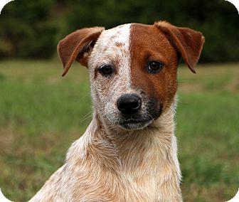 Glastonbury, CT Australian Cattle Dog Mix. Meet Diablo