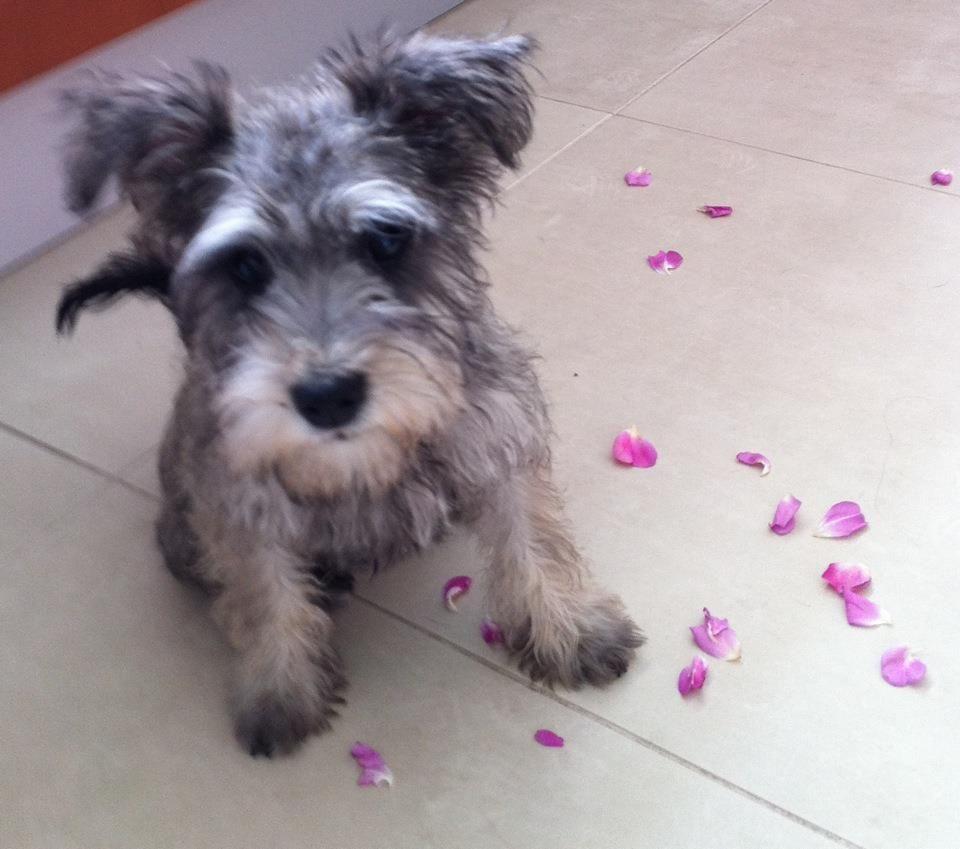 So Stinkin Precious Dogs Terrier Dogs Miniature Schnauzer
