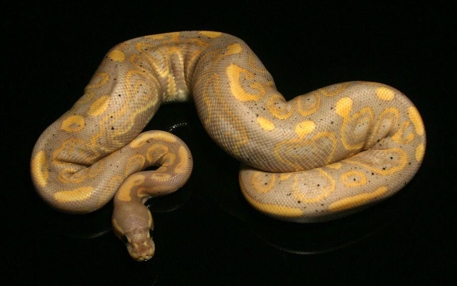 Best Price Ball Pythons For Sale | Ball Python Morphs | Ball