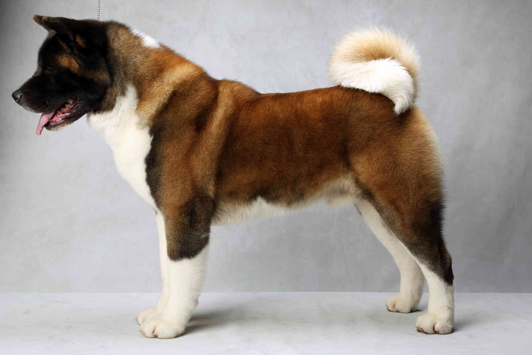 Westminster S Best Of Breed Westminster Dog Show Akita Dog