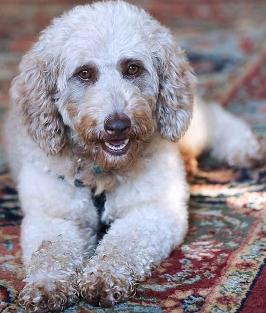 Adopt Nc Isabella Adopted On Poodle Dog Pet Finder Pets
