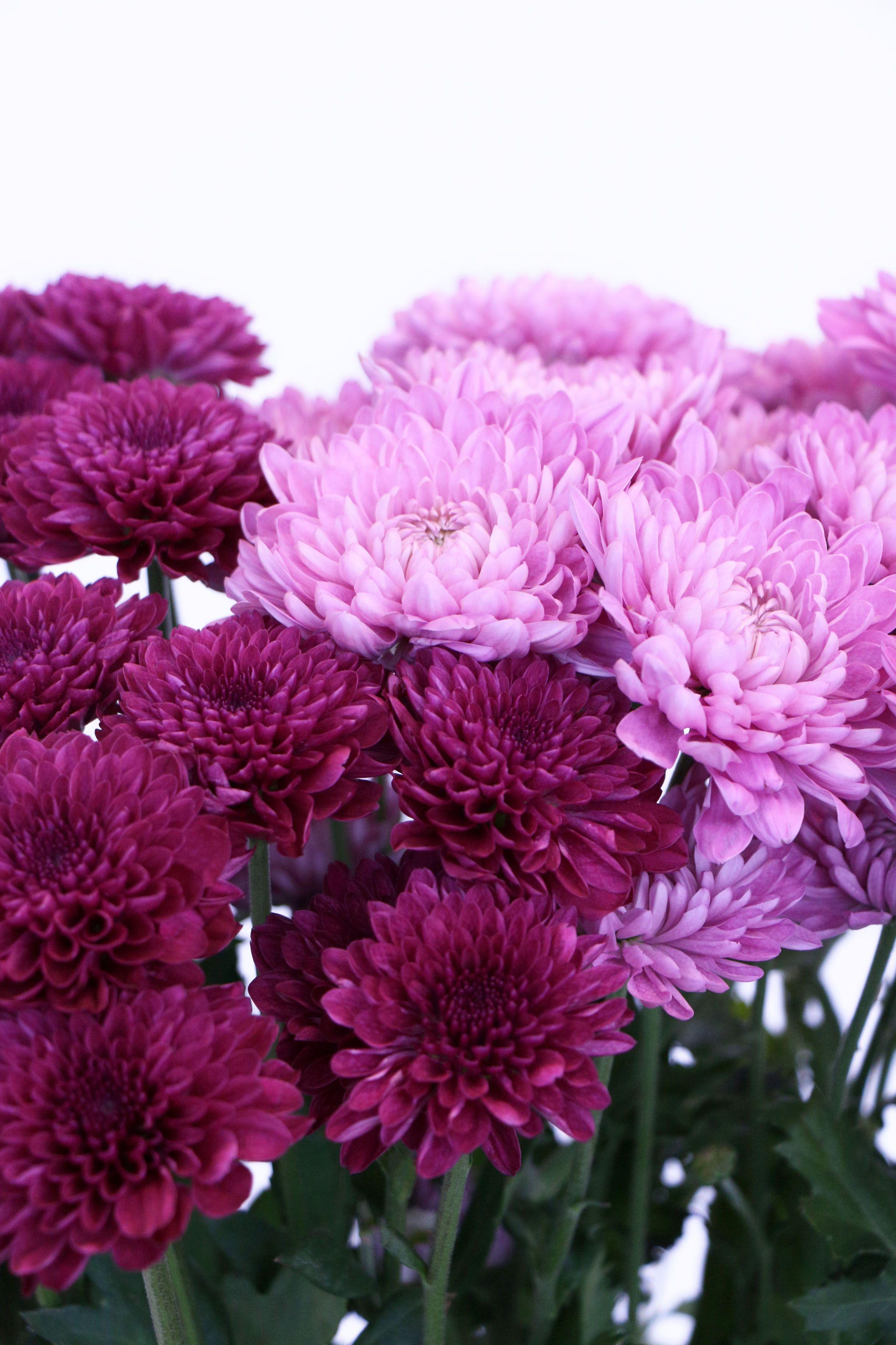 Chrysanthemums Chrysanthemum Flower Beautiful Flowers Beautiful Flowers Wallpapers