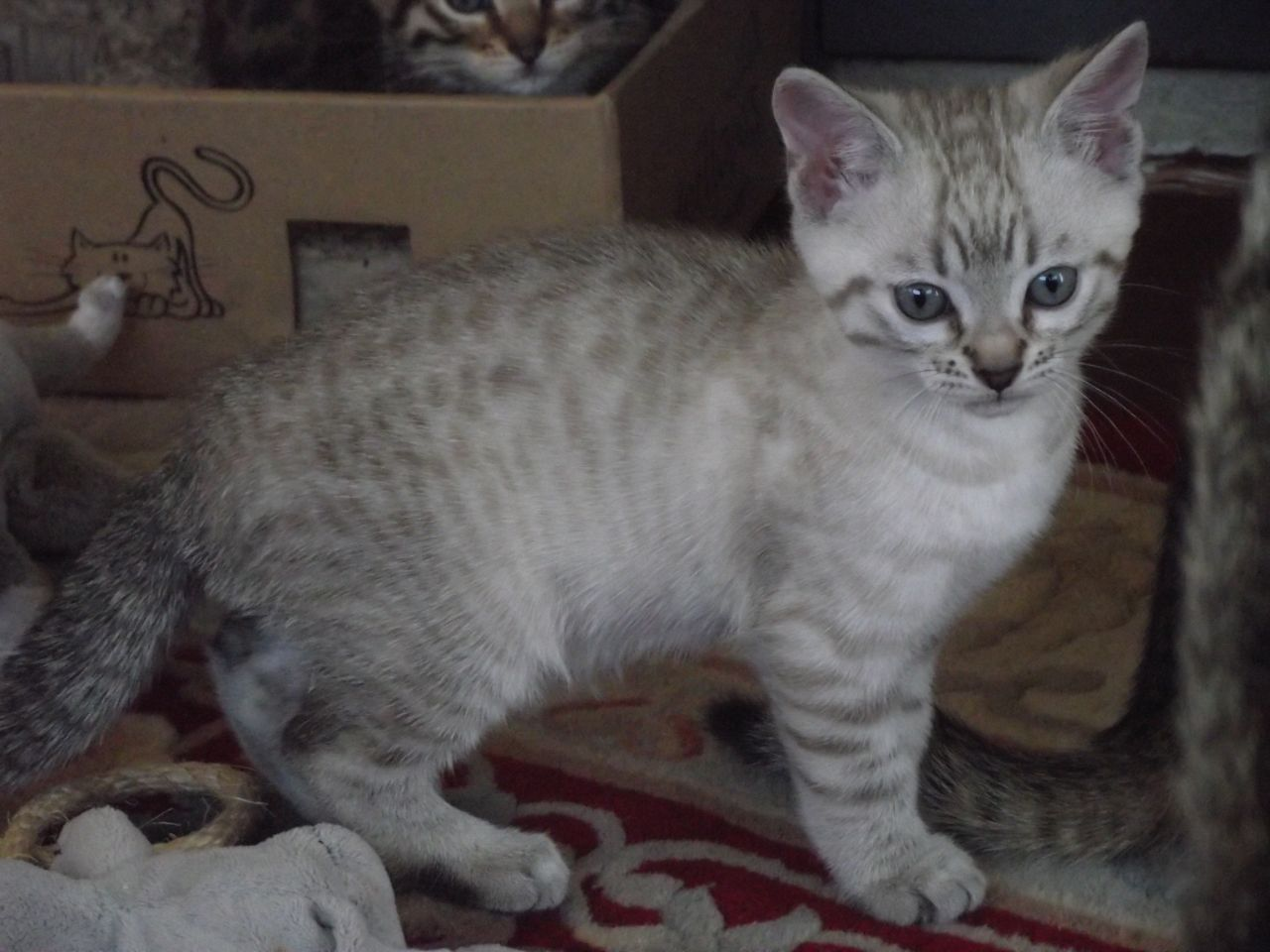 snow bengal cats | related pictures bengal cats for sale white ...