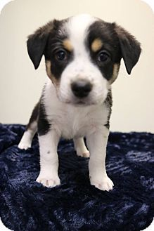 6 17 17 Allentown Va Australian Shepherd Beagle Mix Meet