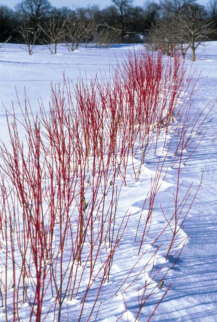red twig dogwood in the winter. the stems really are this vivid red.