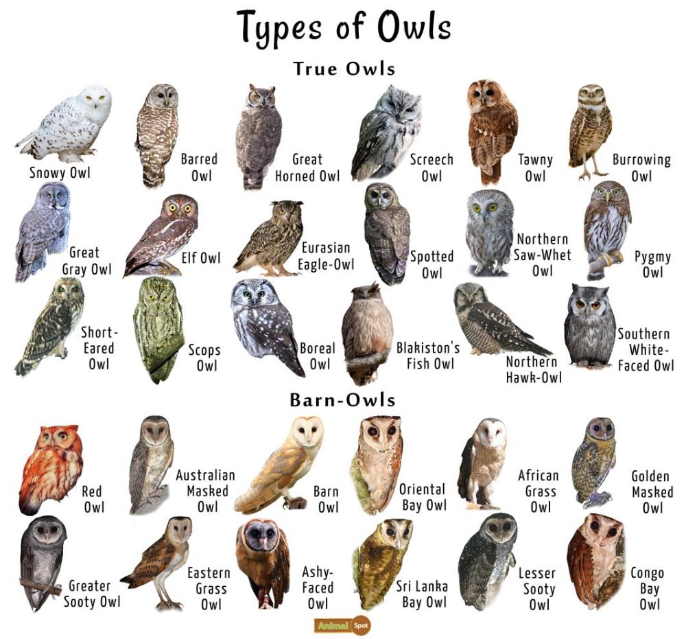 Owl Facts, Types, Classification, Habitat, Diet, Adaptations