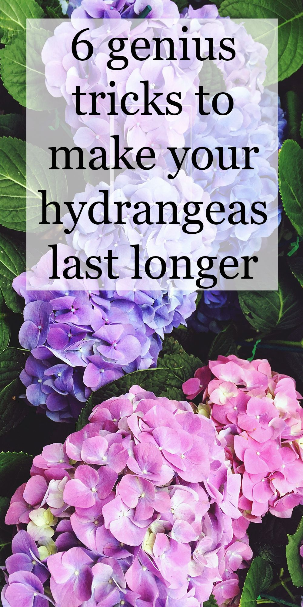 6 genius tricks to make your hydrangea last much longer is part of Hydrangea garden - These genius hydrangea gardening tricks will keep your flowers alive and thriving for so much longer