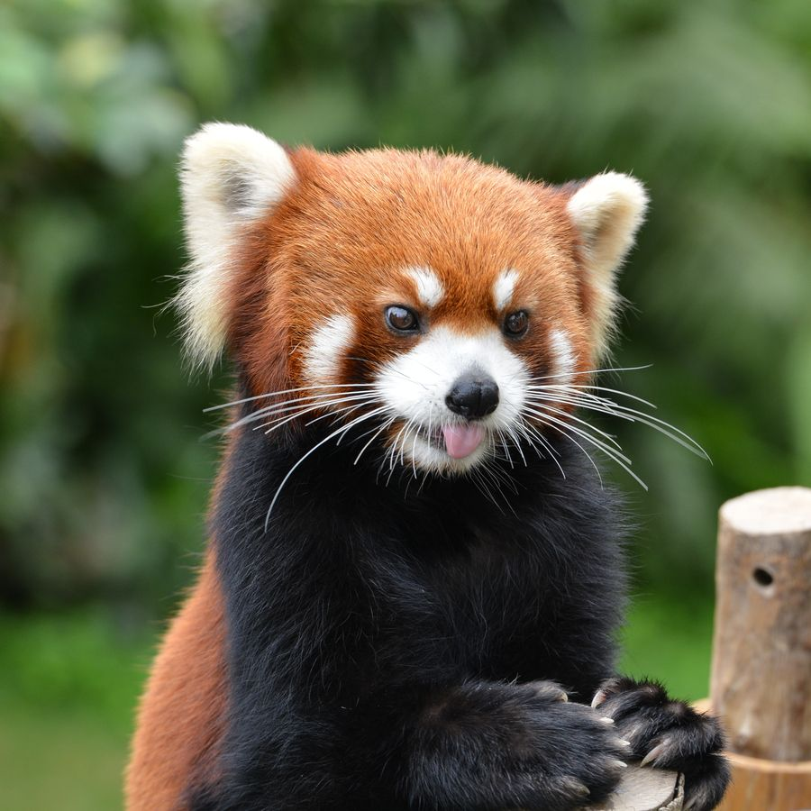 500px Photo Red Panda Roter Panda Tiere Bernhardiner